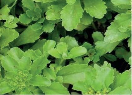 Sedum soort Sdum Floriferum