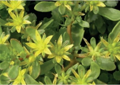 Sedum soort Sedum Hibridum Czars Gold