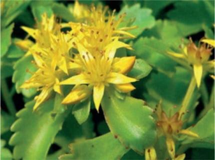 Sedum soorten Sedum Kamptschaticum