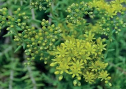 Sedum Soort Sedum Reflexum blue Spruce