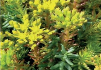 Sedum soort Sedum Reflexum Green spruce