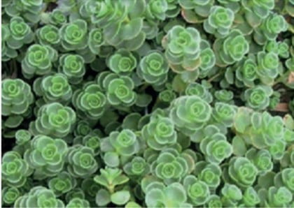 Sedum soort Sedum spurium john creech